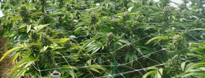 business interruption insurance for cannabis industry